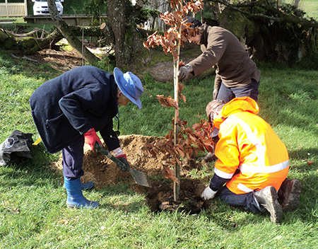 Planting the copper beech
