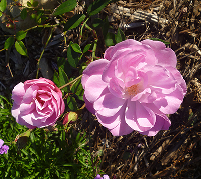 Old China Blush rose