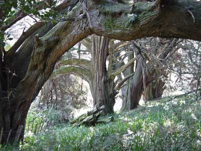 Macrocarpa's at Ivy Bank Farm